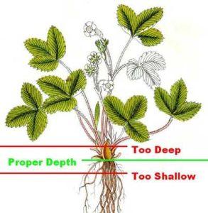 Strawberry planting depth